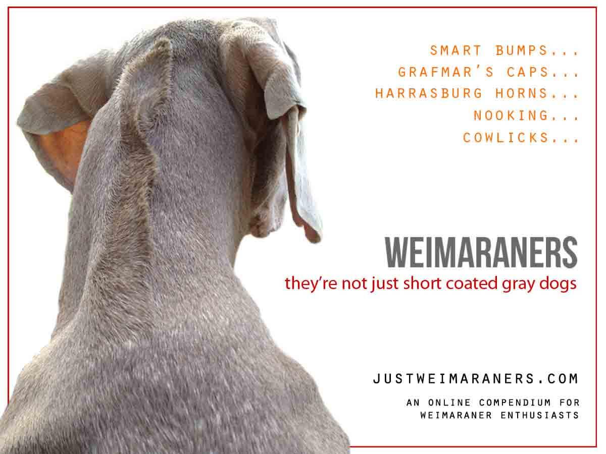 Smart Bumps, Harrasburg Horns, and Other Weimaraner Peculiarities