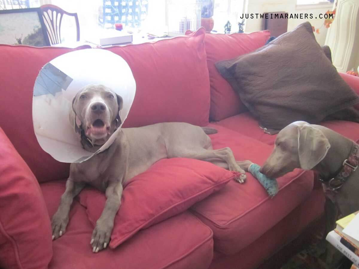 Home Remedies and First Aid for Your Weimaraner