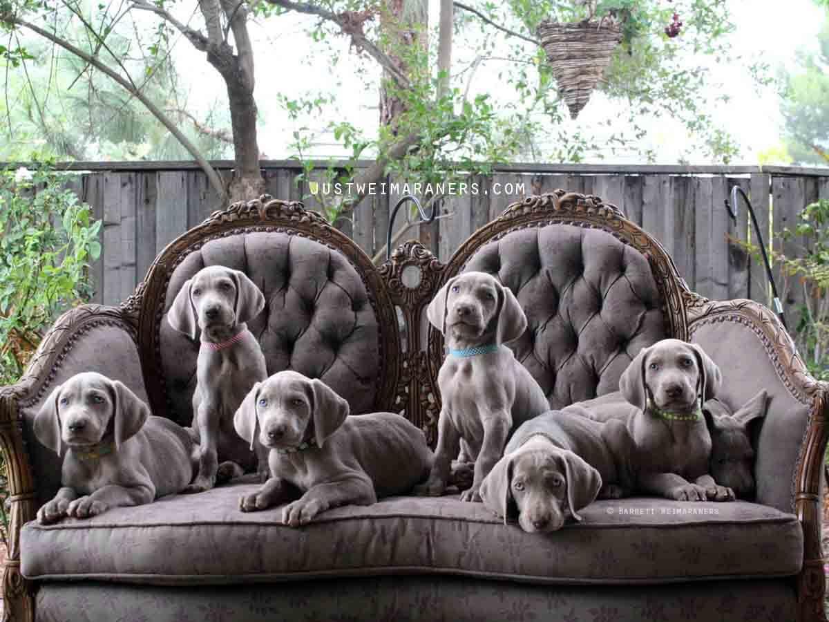 How Big Will My Weimaraner Puppy Get?