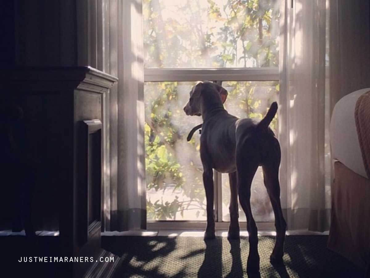 Are You A Hostage To Your Weimaraner?